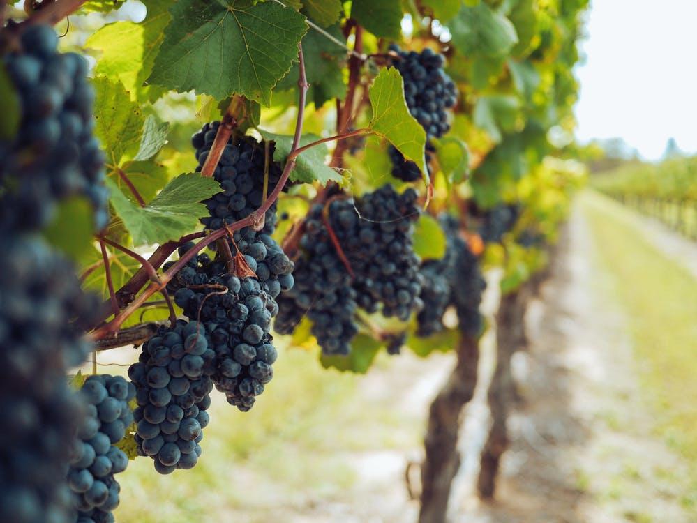 Vale dos vinhedos